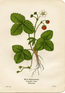 Free Vintage Printable Wild Strawberry Botanical Illustration
