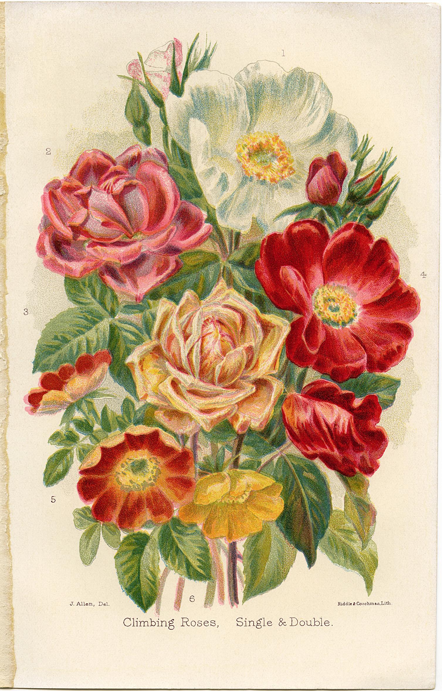 Free Vintage Clip Art Climbing Roses Old Design Shop Blog