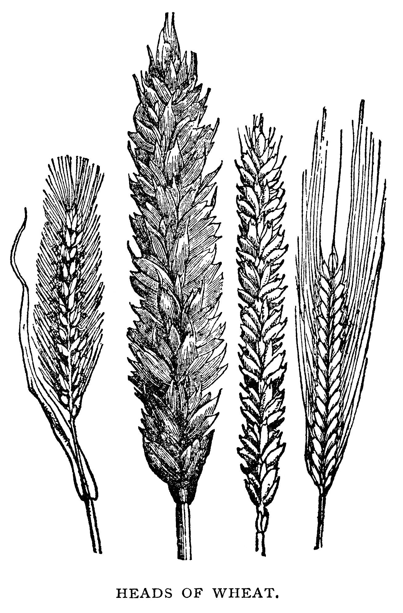 Free Vintage Clip Art Wheat Illustration