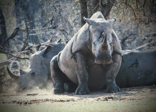 Black Rhino watching us watching him.