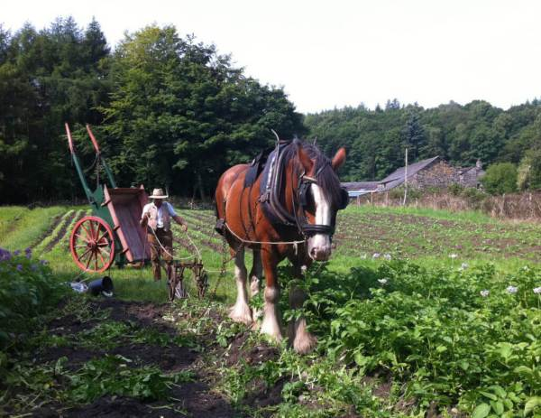 Vintage ploughing with shire horse