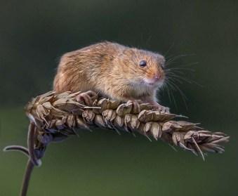 Eddie Leach_Harvest mouse