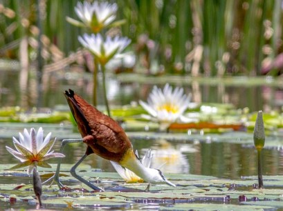 Kevin Coffey_African jacana