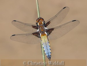 Broad bodied chaser over pond