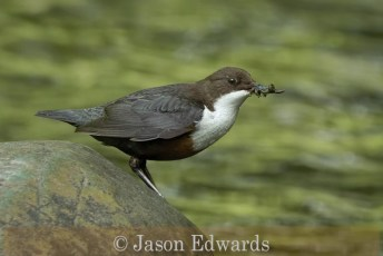 Commended_Jason Edwards_A Dipper with insect food.