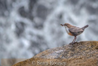 Dipper by waterfall1