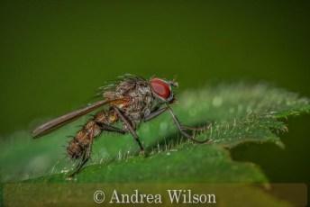 Anthomyiid Fly