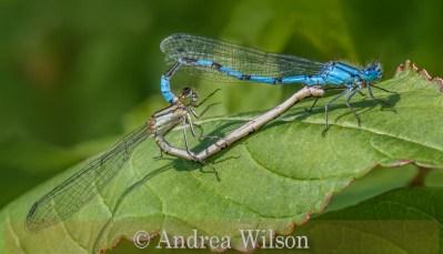 Common damselflies mating