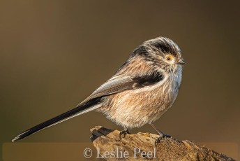 Long-tailed tit looking cuter