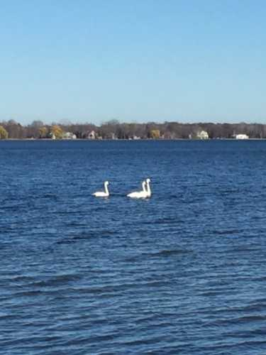 swans-on-the-lake