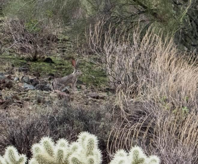 Jackrabbit Hiking Arizona