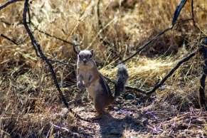 Arizona Antelope Ground Squirrel