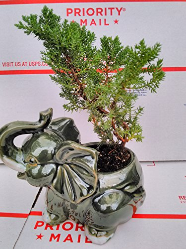 Japanese Juniper Bonsai Tree Fluffy Elephant Indoor/outdoor