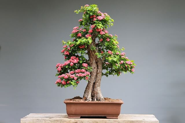 Best Bonsai for Indoors