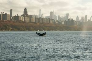 beautiful-picture-of-a-humpback-whale-in-the-hudson-river-imgur