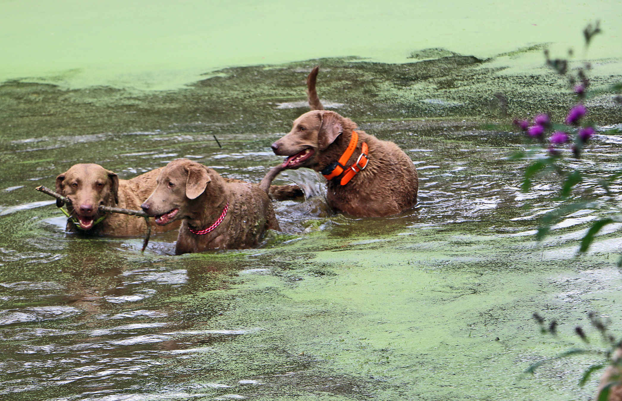 ICK. TOXIC ALGAE BLOOMS: TOXIC TO DOGS, SICKENING TO PEOPLE