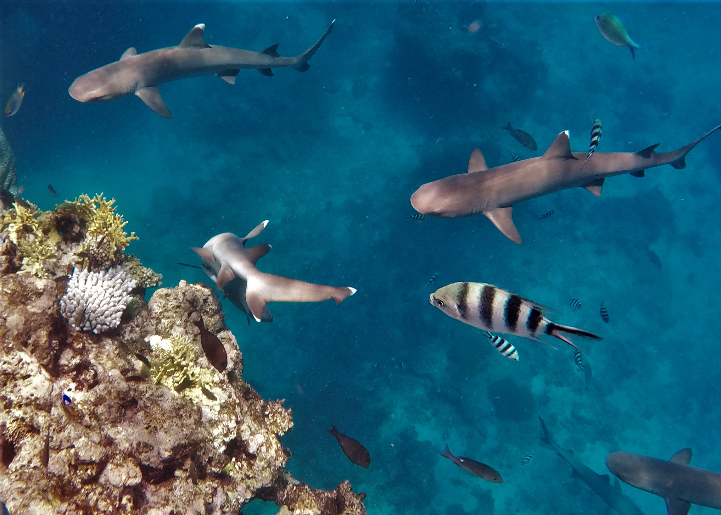 Adrenaline Tourism: Swimming with Sharks in Fiji