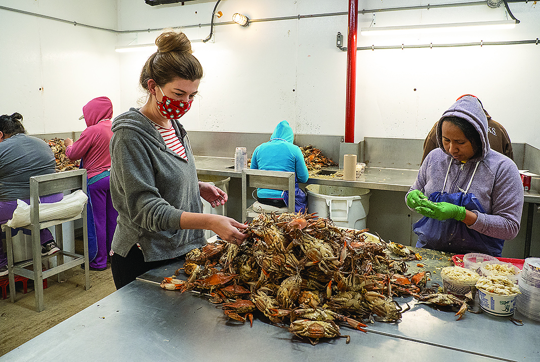 Fewer work visas,coronavirus deliver one-two punch to Bay's blue crab industry