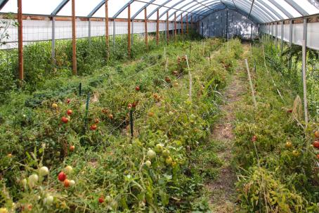 greenhousetomatoes