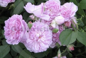 Picture of old english rose