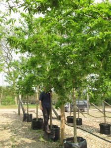 Medlar trees for NTGC stand at Cheslea 2011