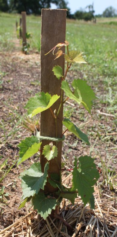 We used simple stakes to train the grapes during the 1st year of growth.
