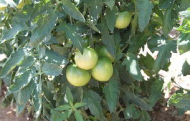 growing healthy tomatoes