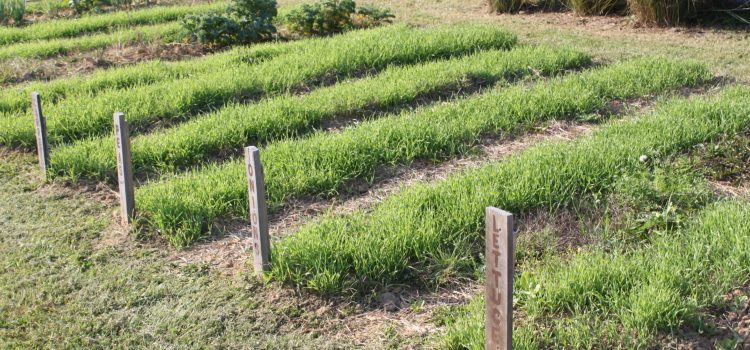 How To Plant A Green Manure Crop This Spring For A Great Garden!