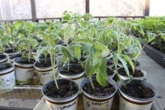 Heirloom Tomato plants growing on the back porch, awaiting their trip to the garden