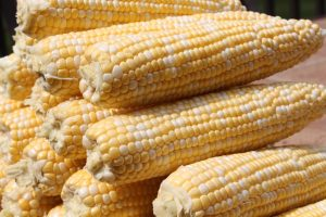 Midwest sweet corn ready to be cooked, or preserved for future use.