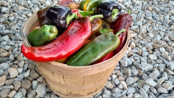 Italian Roaster Peppers