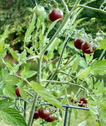 Chocolate Cherry Tomato