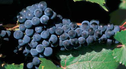 How To Easily Plant And Grow Grapes