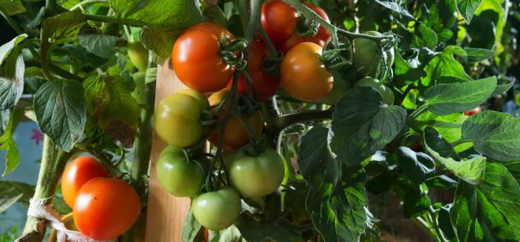 6 Big Tips To Keep Tomato Plants Healthy And Productive In The Summer