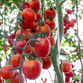 8 Simple Tips To Grow Your Best Tomato Crop Ever. Period!
