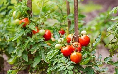 support tomato plants
