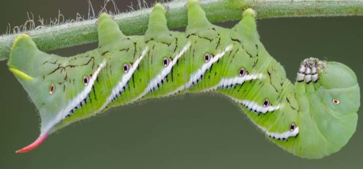 Tomato Hornworms – Controlling Summer's Most Destructive Garden Pest!