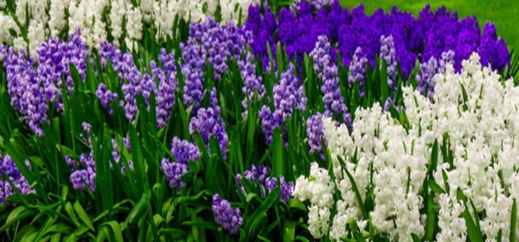 Planting Fall Bulbs – 3 Great Varieties To Add Color To Spring Landscapes!