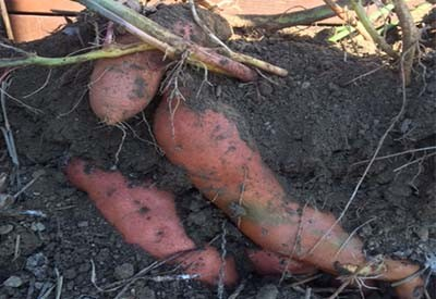 harvest sweet potatoes