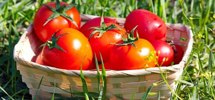 How To Grow Healthy, Strong, And Disease Free Tomato Plants This Year!
