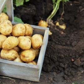 Potato Crates – How To Grow Your Best Potato / Sweet Potato Crop Ever!