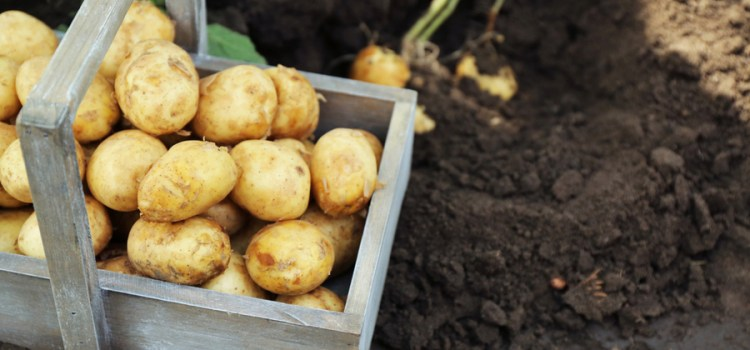 Potato Crates – How To Grow Your Best Potato / Sweet Potato Crop Ever!