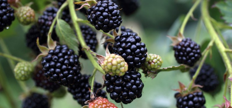 Growing Blackberries – How To Grow The Taste Of Summer At Home!
