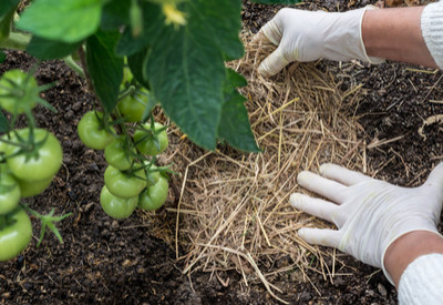 Weed free vegetable garden