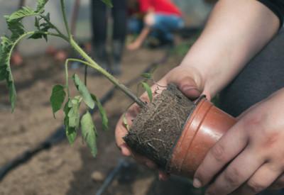 tomato planting mistakes