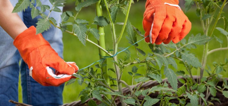 Tying Up Tomatoes – What To Use And How To Do It With Ease!