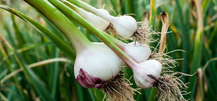 Summer Garlic Harvest – How To Plant, Cure And Store Garlic