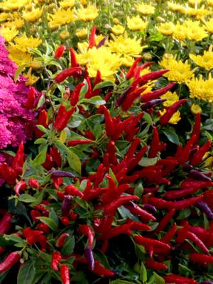 autumn flowering plant