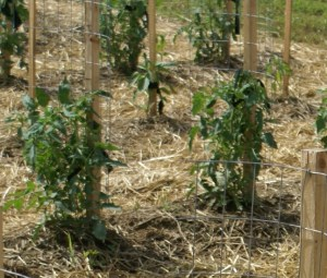 Stake A Cage The Ultimate Diy Tomato Support