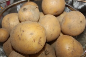 "Yukon Gold potatoes dug from ""The Farm"" this year."